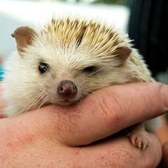 "Okay- I know its a hedgehog but he is just so cute...and has ""hog"" in his name."