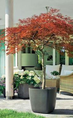 Auch ein stattlicher Baum kann im Topf auf der Terrasse stehen. Dieser rote Schlitz-Ahorn benötigt allerdings einen großen Pflanzkübel. Ahorne mögen keine Staunässe, der Topf sollte deshalb über eine gute Dränage verfügen