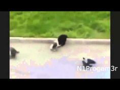 Best Funny Animal Videos Compilation #2 (2013-2014) - http://dailyfunnypets.com/videos/dogs/best-funny-animal-videos-compilation-2-2013-2014/ - Best Funny Animal Videos Compilation 2013 Published on Oct 2013 Baby turtles so CUTE Best compilation of a funn. . BEST FUNNY ANIMALS COMPILATION (2013 - 201... - (animal), (fictional, (film), animals, best, cat, cats, character), clips, crossing, dog, dogs, friend, funny, moments, pet, pets, r
