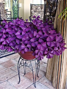 Oxalis purple clover. Part-shade. Perennial? Gorgeous foliage and cute white flowers that bloom spring through early summer.  it spreads readily, is somewhat drought tolerant, and just an easy-going, shade-loving wonder plant. (2013)