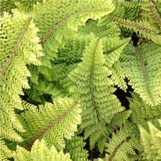 Polystichum Setiferum 'Plumosum Densum' - A stunning small perennial evergreen fern, with fine divided and thick green foliage with feathery tips.
