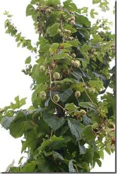 How to Grow Hops, Hops and 30 other fruit and nut trees have just been added to the plant selection toolbar on the Garden //Swede Cottage Farm this // Edible Garden, Vegetable Garden, Permaculture, Organic Gardening, Gardening Tips, Balcony Gardening, Hops Plant, Garden Animals, Growing Herbs
