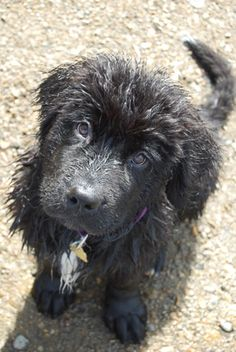newfoundland dogs | Newfoundland Information and Pictures, Newfoundlands, Newfs, Newfies