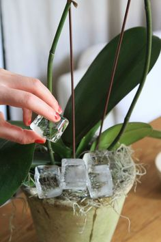 Orchid care. It was so much easier when I lived in Miami and they grew outdoors on my trees.