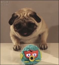 """4gifs:  Determined pug. [video]   """
