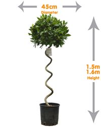 Spiral Bay Tree- This spiral trunk bay tree offers a unique stylish design ideal for any garden design