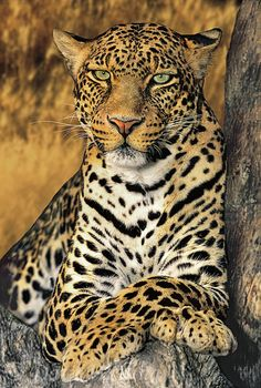 Portrait of an African leopard, panthera pardus, an endangered species.