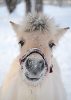 pony in the snow - 1-4-2014: Thanks to Mary Horn for this one. She originally pinned it to the much larger board that I used to call Marvelous Mammals of Many Kinds. However, I have since created various spinoffs from that one, and this is where a pony properly belongs. (The more eclectic board is now simply Miscellaneous Marvelous Mammals.)