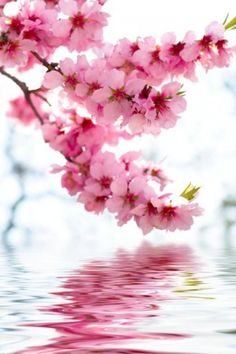 Beautiful cherry blossoms' reflection
