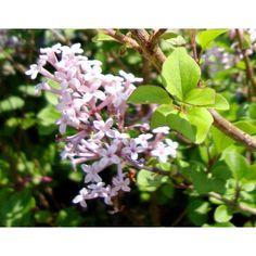 OnlinePlantCenter 2 gal. Palabin Lilac Shrub-L00718 - The Home Depot