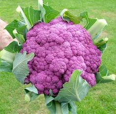 Organic Heirloom Purple of Sicily Cauliflower by kenyonorganics  Wish I could grow decent cauliflower in Northern Indiana.... this would be amazing in my edible landscaping.