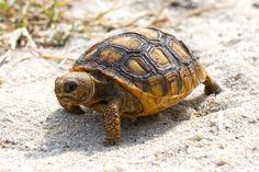 Baby Gopher Tortoise Walking