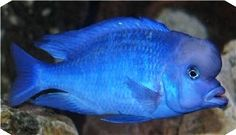 "Cyrtocara Moorii ""Blue Dolphin"" - possible future fish"