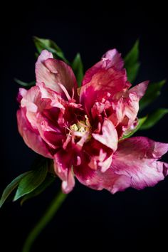 peonies-beauties