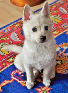 Moshi the Alaskan Klee Kai the look this dog is giving makes me want to hug it.