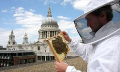 Thousands of bees have been installed in a beehive on the roof of St Paul's cathedral. Photograph: City of London Festiva