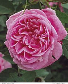 28 Antique Roses for Specimens, Hedges, Containers, and Climbers | Fine Gardening