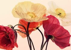 &WOLF – The best collection of wall art for your home Posing Poppies - &WOLF - The best collection of wall art for your home