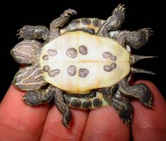 Deformed Red Eared Slider Born with 2 Heads, 8 Legs and 2 Tails... What caused the Deformity is Unknown... The Class of Twin is Also Unknown Undocumented, it is Not Siamese, conjoined or parasitic... It Appears to be 2 Fully Formed Turtles Sharing a Single Shell...