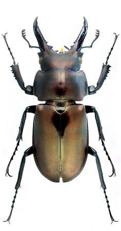 Prismognathus subgenus - LUCAINIDAE - Stag horn beetles