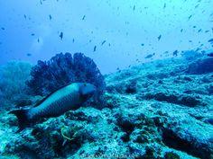 Scuba Diving Maldives Parrot Fish
