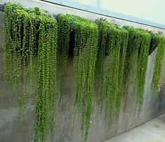 """Senecio rowleyanus, """"String of Pearls"""", is striking when it is trailing over rocks or draped along the top of a long wall. Photo: unknown. #senecio_rowleyanus #succulent_stringofpearls #succulents_wall"""