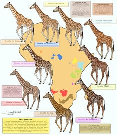 Giraffes Only living representatives of the genus Giraffa, and long considered as belonging to a single species giraffes are now separated into four dis. All the giraffes Baby Exotic Animals, Exotic Pets, Animals And Pets, Cute Animals, African Elephant, African Animals, Animal Facts, My Animal, Giraffe Facts