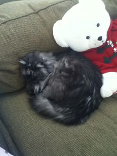 Cashmere our Siberian kitten naps with Mistletoe