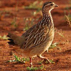 Crested Francolin, Kruger National Park