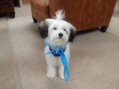 Noodle Pup - my lovely Chinese Crested Powder Puff!