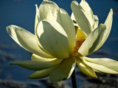 Close-up Of American Lotus Lily Lake Amana Ia