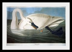 John James Audubon Trumpeter Swan painting for sale, this painting is available as handmade reproduction. Shop for John James Audubon Trumpeter Swan painting and frame at a discount of off. Audubon Prints, Audubon Birds, Most Expensive Book, Trumpeter Swan, Birds Of America, John James Audubon, Canvas Prints, Art Prints, Framed Canvas
