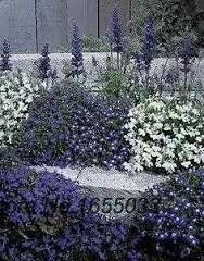 Lobelia Riviera Series Mix Annual Seeds *** You can get additional details at the image link.
