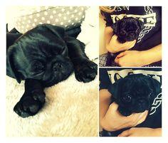 Can some one PLEEAASSEE buy me a pug (preferably a black one) How cute is Zoe Sugg's and Alfie Deyes new pug Nala. I just wanna give her the biggest hug! OMG shes soooooo cute!! ahhhh!! <3 xxx