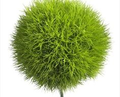 Green Trick: in the Carnation family, 8-10 cm round ball