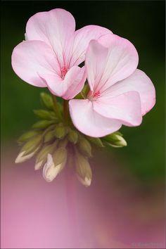 Gerânio rosa . Flor.