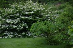 Doublefile Viburnum Ignites the Landscape in A Garden For All by Kathy Diemer http://agardenforall.com