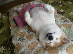 Sleep well , good night and please take care my shibe. Baby Puppies, Cute Puppies, Corgi Dog, Dog Cat, Cute Funny Animals, Cute Cats, Animals And Pets, Baby Animals, Japanese Dogs