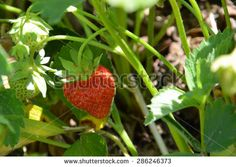 strawberry growing  - stock photo