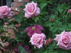 Belinda's Dream rose with Ernest Markham clematis