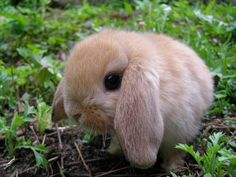 Holland lop <3