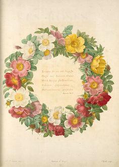 Rosier du Bengale (1817-1824) by Pierre Joseph Redouté (1759-1840). NYPL Digital Gallery.