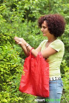 Mit den Maiwifpeln der Tannen und Fichten kannst du im Früher einen leckeren Wipferlhonig herstellen oder einen gesunden Hustensirup ansetzten.