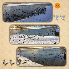 #ducks🦆🦆🦆#Winter #river #pond #blue #water #snow ❄️⛄️& #ice #sun 🌞#dove 🕊📸❤️❤️