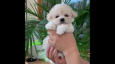 Teddy Bear Poodle, Poodle Puppies For Sale, Teacup Poodles For Sale, Miniature Puppies, Tea Cup Poodle, Dogs, Animals, Animales, Animaux