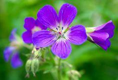 Metsäkurjenpolvi --Geranium sylvaticum