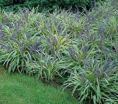 Lily turf (Liriope muscari Variegata) - fast spreading, good in shade, blooms Aug-Sept. Garden Shrubs, Landscaping Plants, Shade Garden, Lawn And Garden, Garden Plants, Landscaping Ideas, Gardening Vegetables, House Plants, Outdoor Plants