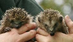 Man calls out cops on hedgehogs' noisy sex