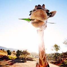 sdzsafaripark:Why do so many people look up to giraffes? Besides the obvious reason, they are a wonderful example of nature's creativity. (photo: Instagram/@iloveshanimals) RePinned By: *Doniele Disney* www.poppiespaintpowder.com