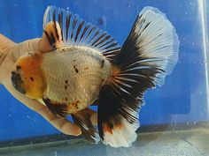 Stunning oranda Comet Goldfish, Goldfish Aquarium, Aquarium Fish Tank, Types Of Gold, Beta Fish, Water Life, Beautiful Fish, Freshwater Fish, Carp